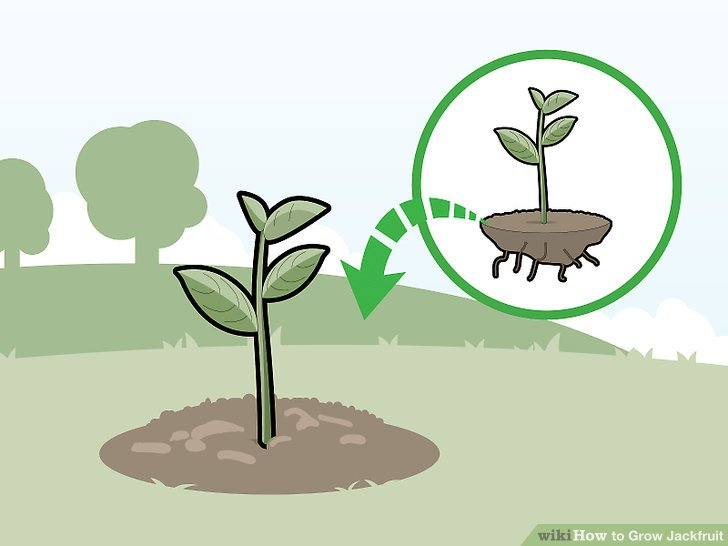 Place the plant in the hole and create a mound around the base.