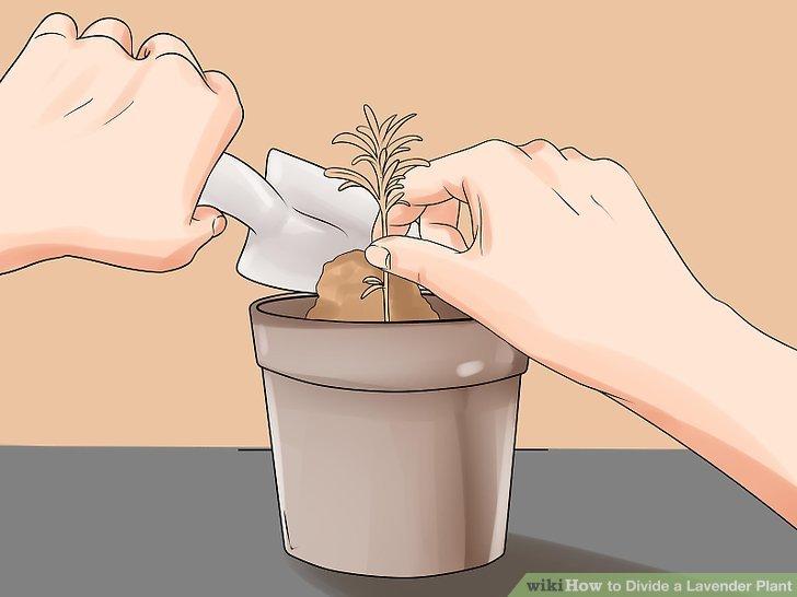 Stecken Sie die Stecklinge in die vorbereiteten Behälter und wässern Sie sie gründlich.
