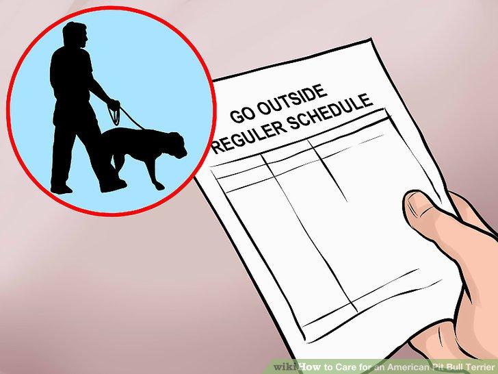 Brechen Sie Ihren amerikanischen Pit Bull Terrier ein.