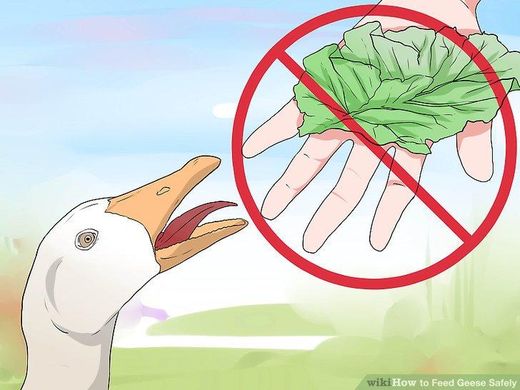 Füttern Sie Gänse nicht mit der Hand.