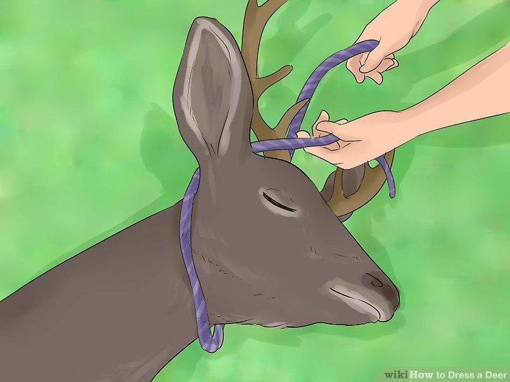 Binden Sie ein starkes Seil oder einen Riemen um das Geweih des Tieres oder so hoch wie möglich unter den Kopf.