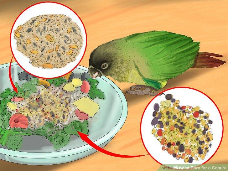 Füttern Sie Ihre Conure-Nahrung, die reich an Eiweiß ist, damit die neuen Federn wieder wachsen können.