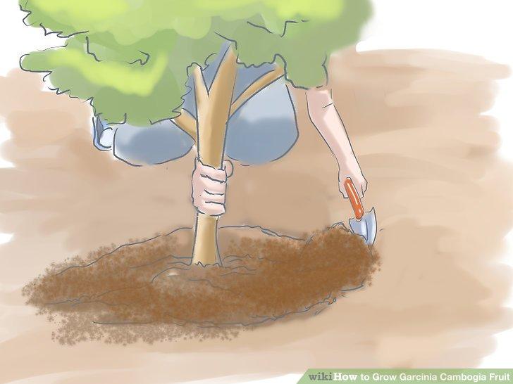 Füttern Sie den Baum im Laufe des Pflanzungsjahres weitere zehn Pfund kompostierten Düngers.