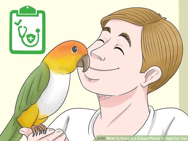 Holen Sie sich einen Caique, wenn Sie eine gesunde Papageienart möchten.
