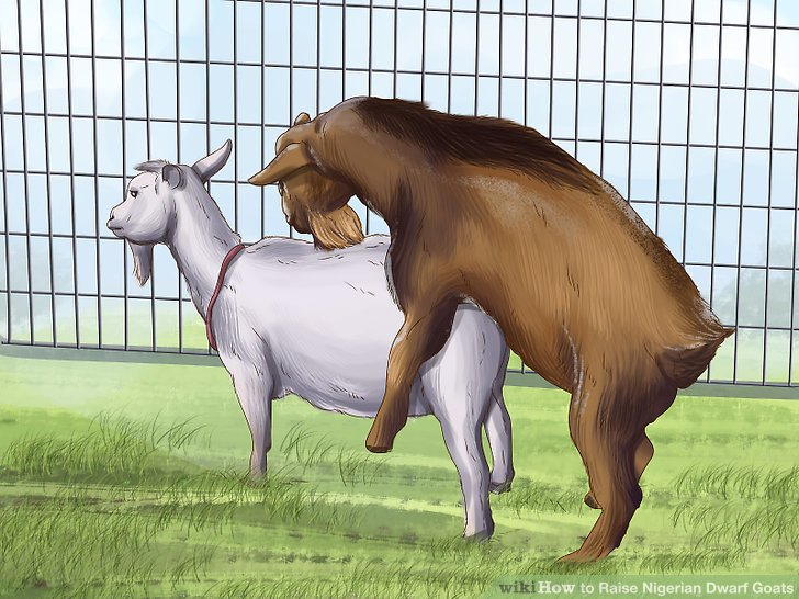 Breed your goats