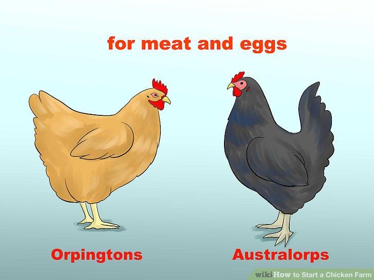 Betrachten Sie Doppelrassen, wenn Sie Fleisch und Eier von Ihren Hühnern haben möchten.