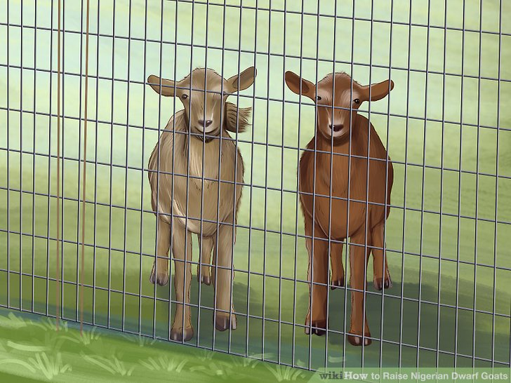 Use solid, strong fencing to keep your goats inside.