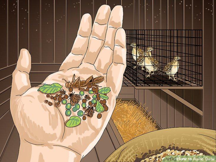 Erwägen Sie, Ihrem Wachtelnahrung frisches Grünzeug, Samen und kleine Insekten hinzuzufügen.
