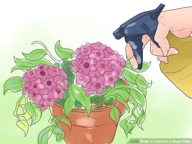 Hoya-Pflanzen mit einem ausgewogenen, wasserlöslichen Zimmerpflanzendünger düngen.