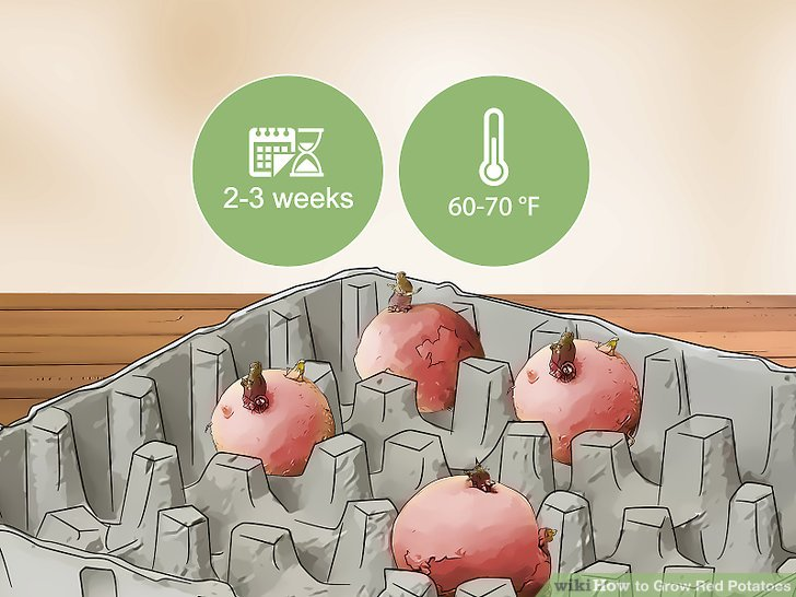 Leave your seed potatoes in a warm location for 2-3 weeks.