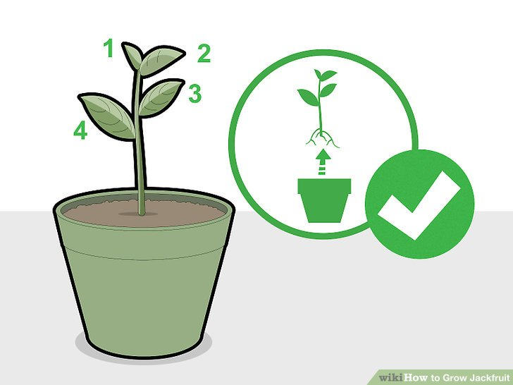 Transplant the young jackfruit plant once it has gained four leaves.