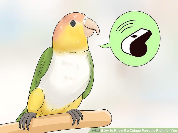 Nehmen Sie einen Caique an, wenn Sie einen ruhigeren Papagei wollen.