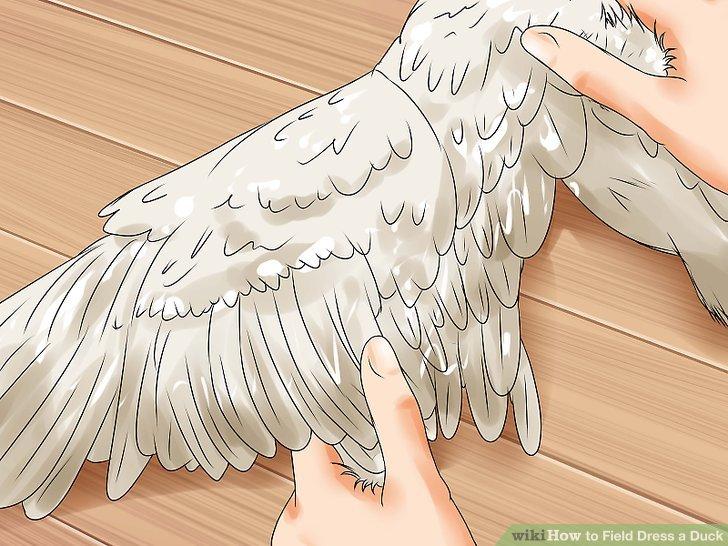 Ziehen Sie große Flugfedern und Schwanzfedern in Wachstumsrichtung.