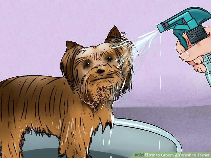 How To Groom A Yorkshire Terrier Practical Information