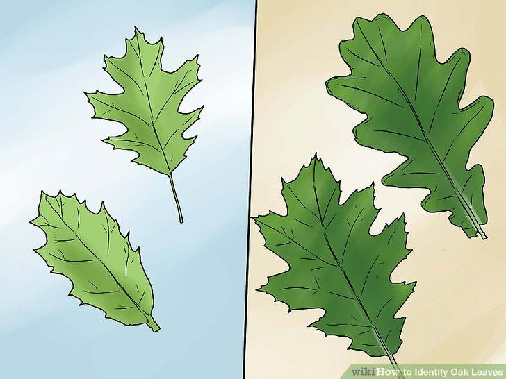 Northern Pin Oak Vs Red Oak