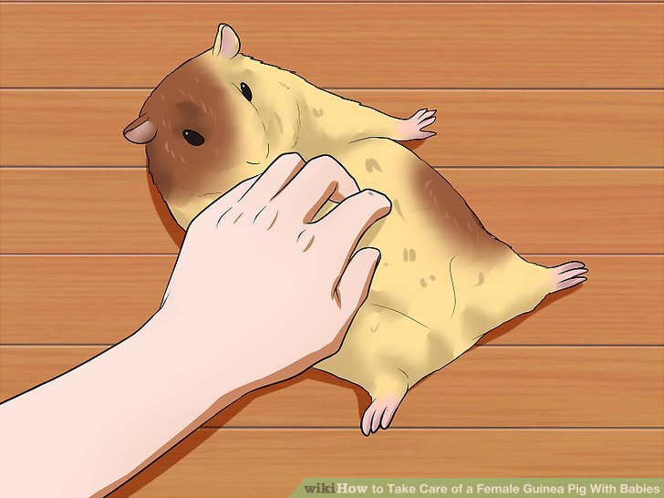 Überprüfen Sie die Brustdrüsen des Muttermeerschweinchens.