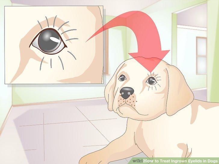 Holen Sie sich das Augenlid, wenn Ihr Hund jung ist.