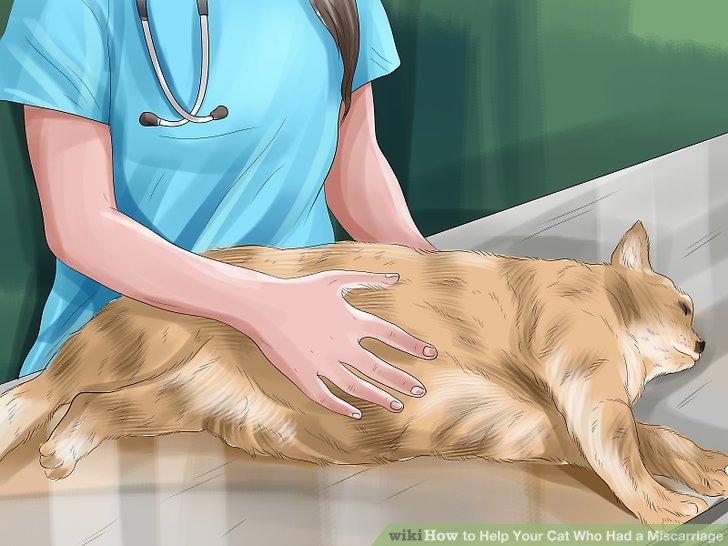 Nehmen Sie Ihre Katze zum Tierarzt, wenn eine Fehlgeburt im späten Stadium vorliegt.