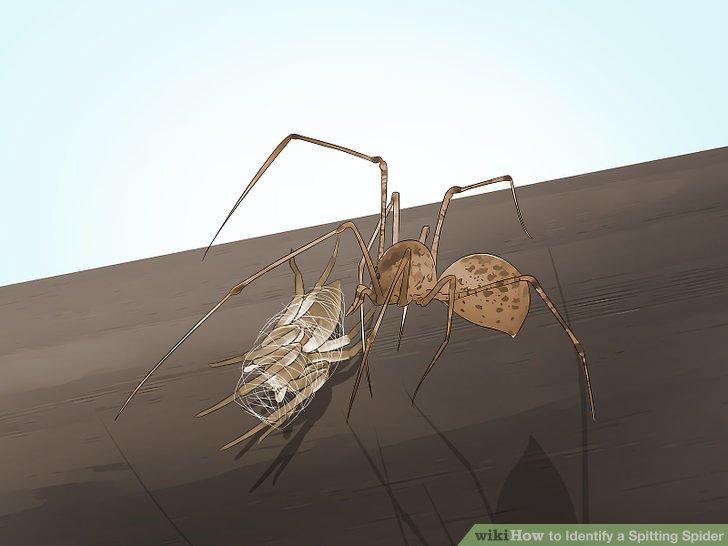 Beobachten Sie, wie die Spinne ihre Beute in Seide einwickelt.