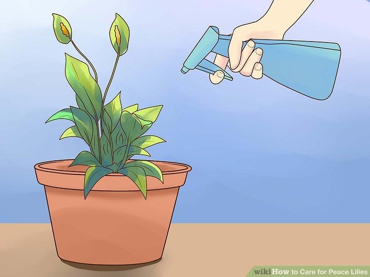 Yaprakları haftada birkaç kez sprey şişesiyle buğulayın.