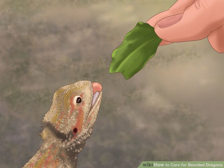 Care for Bearded Dragons Step 15 Version 2.jpg