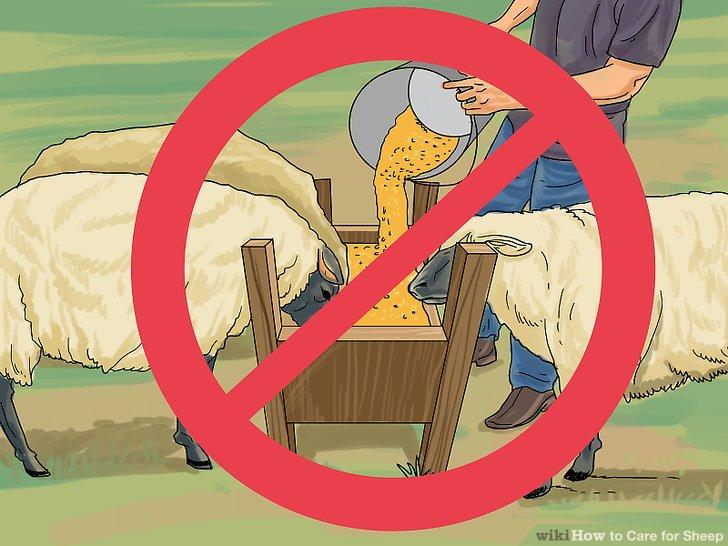 Vermeiden Sie eine Überfütterung Ihres Schafskorns.