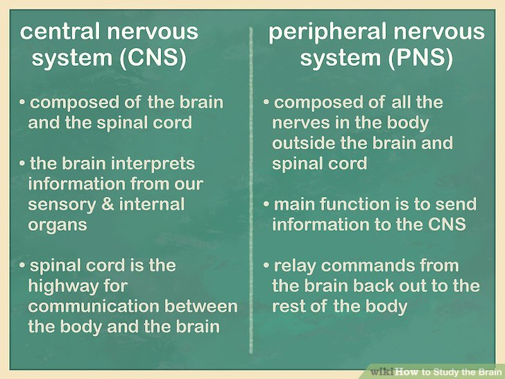 Learn the difference between the central and peripheral nervous systems.