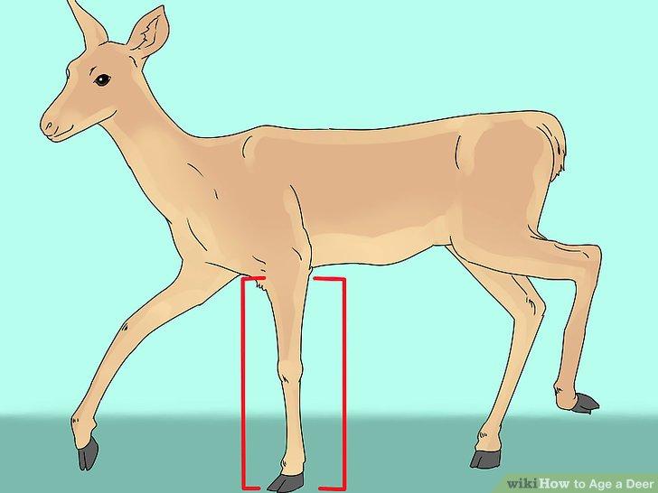 Schauen Sie sich die Beine des Hirsches an.