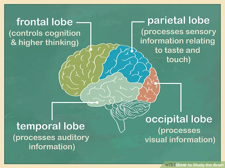 Start with the cerebrum and the cerebral cortex.