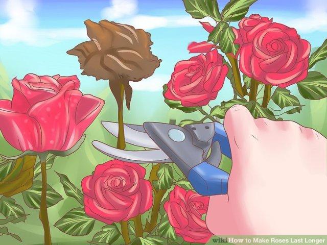 Make Roses Last Longer Step 13.jpg