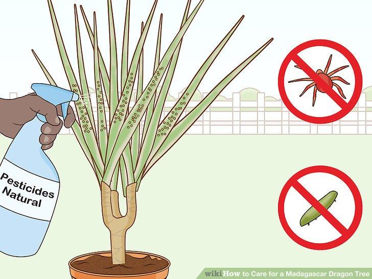 Besprühen Sie die Blätter regelmäßig, um Schädlinge zu reduzieren.
