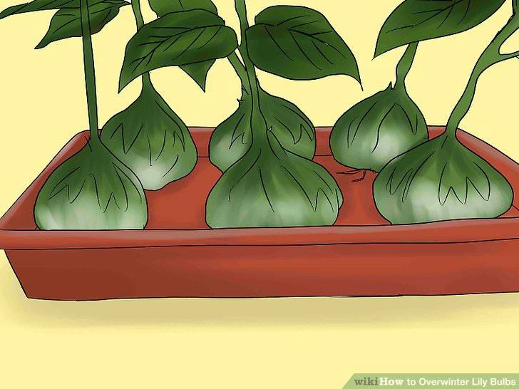 Put the bulbs on a tray and allow them to dry for a few days.