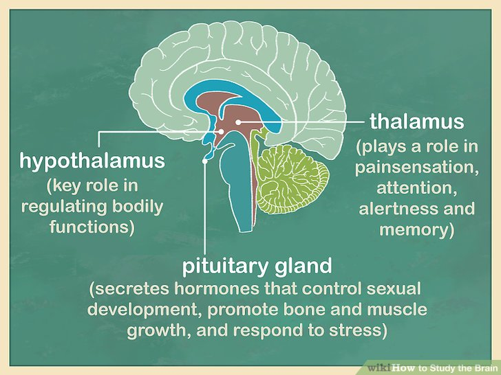 Learn about the other structures of the cerebrum.
