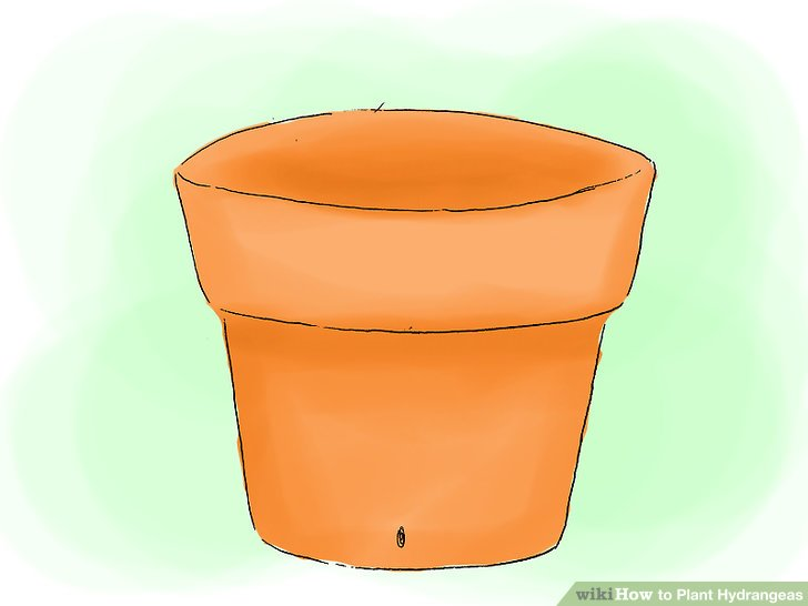 Plant the hydrangeas in a spacious hole carefully.