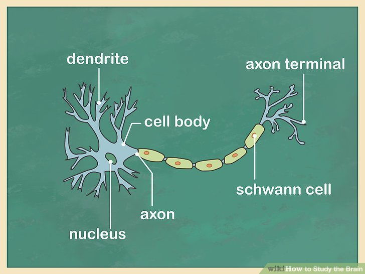 Study how neurons function.