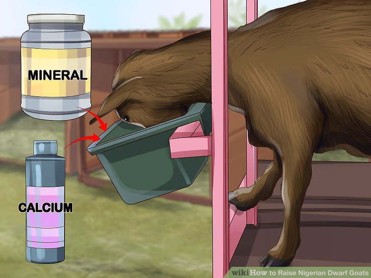 Add in some pre-mixed grain made for Nigerian dwarf goats.