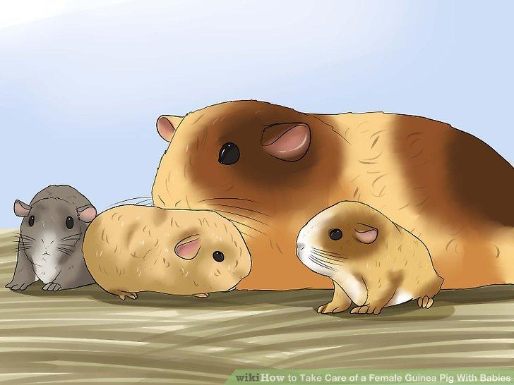 Geben Sie der Mutter Meerschweinchen Zeit, um ihre Welpen zu stillen.
