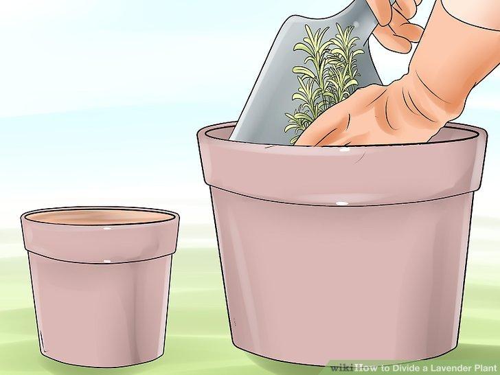 Wenn sich Wurzeln entwickeln, in einen größeren Topf oder den Boden verpflanzen.