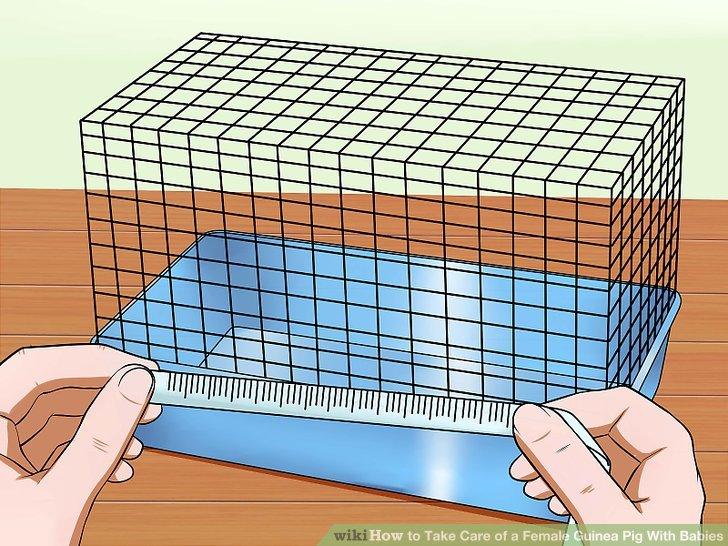Überprüfen Sie die Größe des Käfigs der Mutter Meerschweinchen.