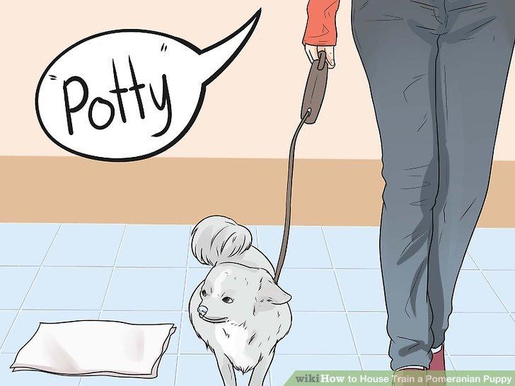 Ermutigen Sie Ihren Pomeranianer, jedes Mal dieselbe Stelle zu verwenden.