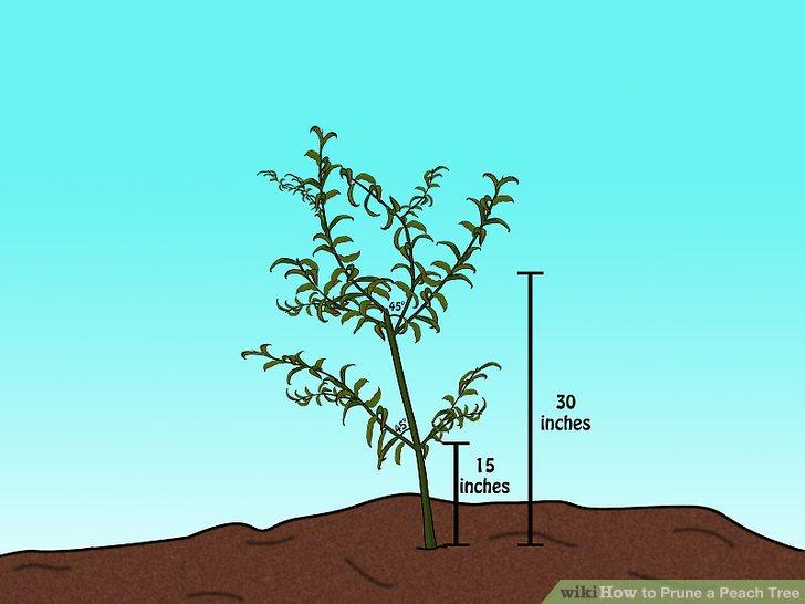 Beschneiden, sodass der niedrigste Ast 38,1 cm über dem Boden liegt.