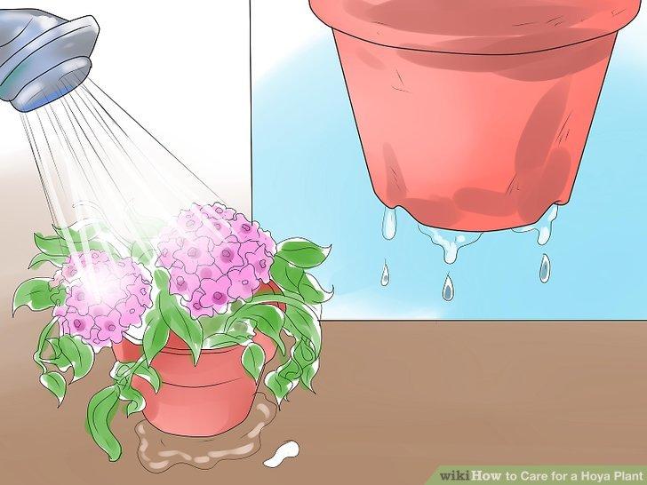 Gießen Sie das Wasser gleichmäßig über die Erde, bis es vom Boden des Topfes abläuft.