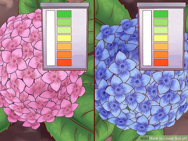 Senken Sie den pH-Wert für Blumen wie Begonien und Hortensien.