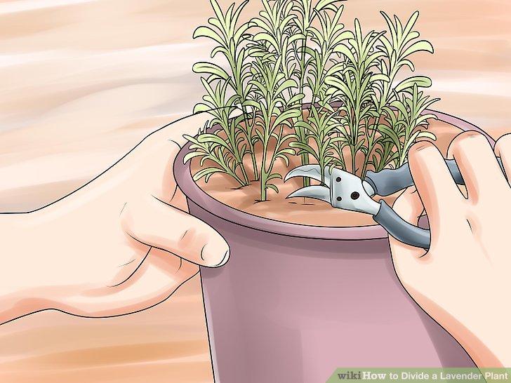 Wenn Ihr Lavendel überwachsen ist, versuchen Sie es stattdessen zu beschneiden.