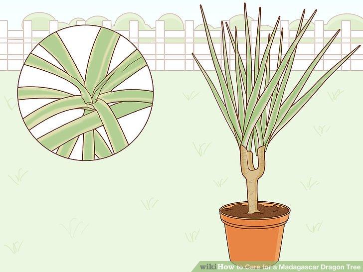Wählen Sie die Marginata-Tricolor-Sorte für eine grünliche Goldpflanze.