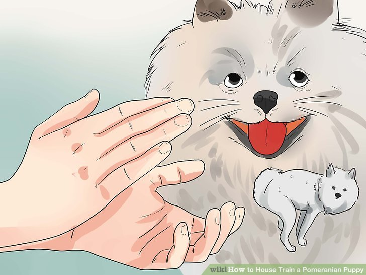 Halten Sie Ihren Pomeranian davon ab, zu beseitigen, wo er nicht sollte.