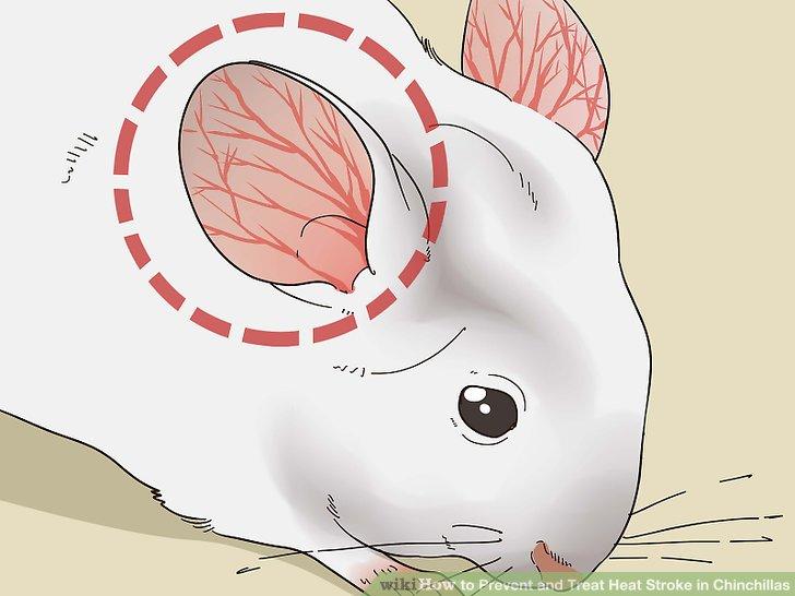 Schau nach, ob die Ohren deines Chinchillas rot sind.