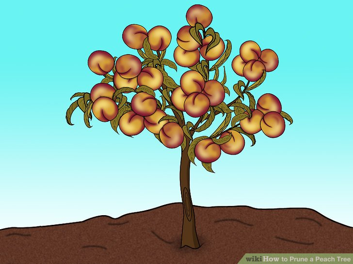 Beschneiden Sie Ihre Pfirsichbäume, damit sie wachsen können.