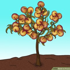 Diagram The Parts Of Cherry Blossom Tree Battery Wiring Club Car Ds 3 Ways To Prune A Peach Wikihow Image Titled Step 1