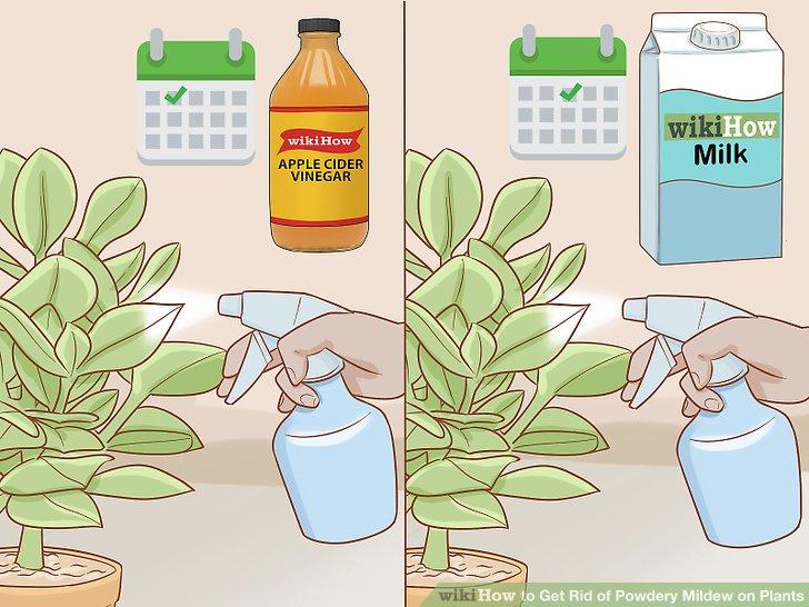Alternative Sprays, damit der Mehltau keinen Widerstand aufbaut.